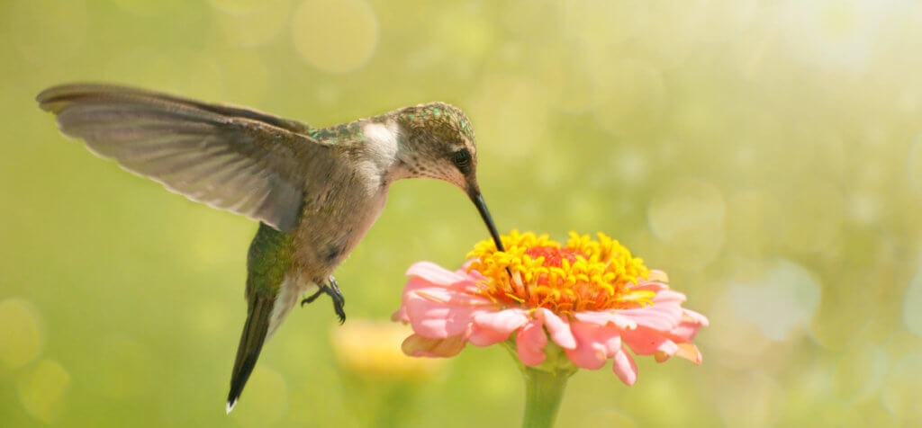 A Few Tips About Feeding Hummingbirds