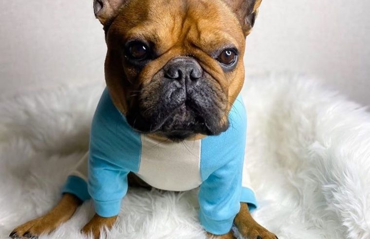 Nutrition tips: How to feed a French bulldog?