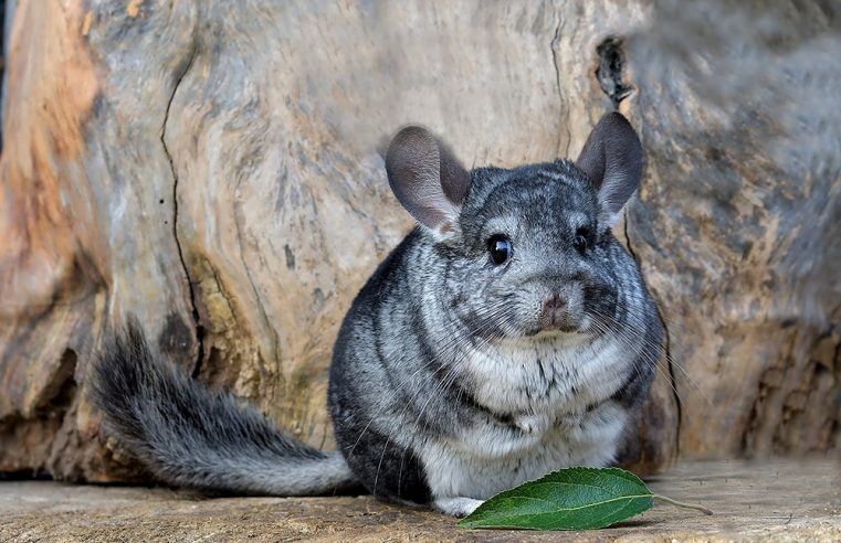 Is a Chinchilla the Right Pet for Me?