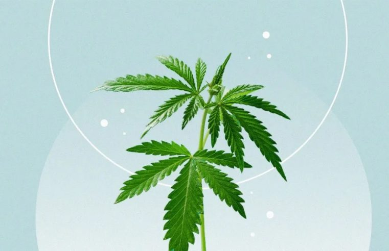 What are the therapeutic benefits of using CBD oil?