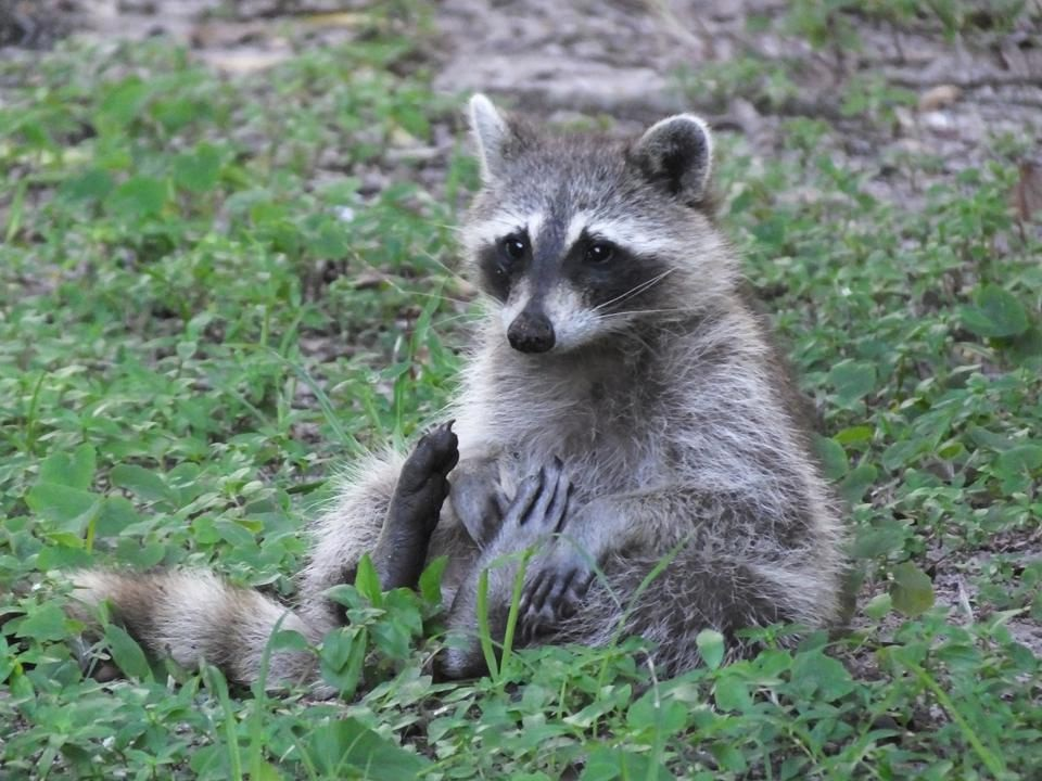 What to do About Nuisance Wildlife Raccoon Removal