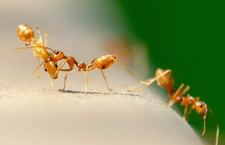 Sugar ants aren't the passengers you want for your car
