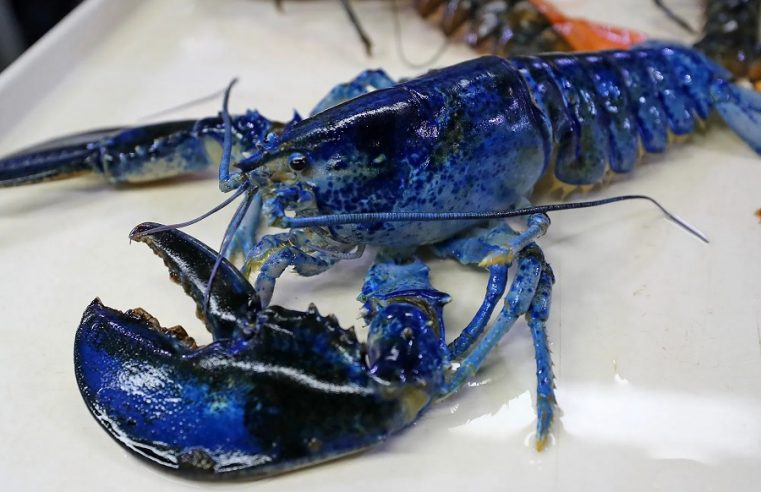 Consider the Blue Lobster