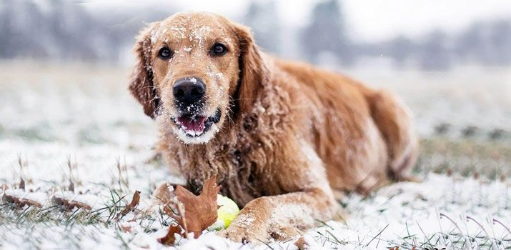 Can Dogs Get Frostbite?