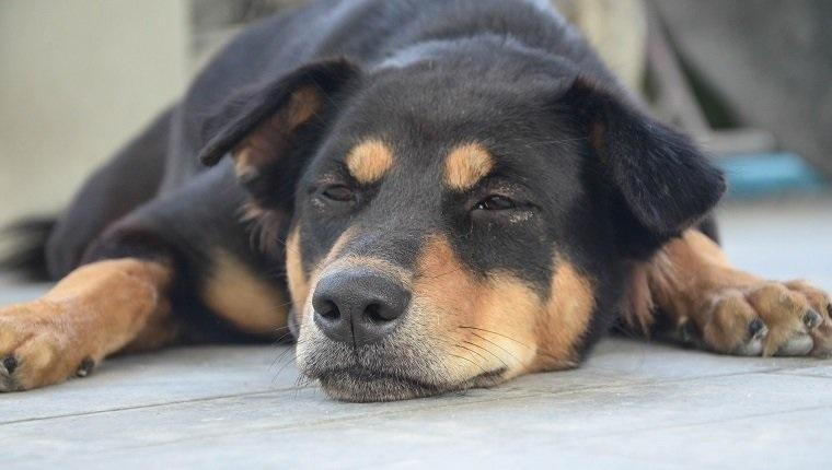 Pulmonary Fibrosis In Dogs