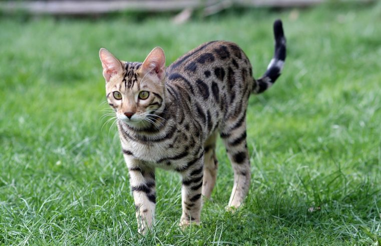 What makes Bengal Cats a Special Breed –  A Brief Insight