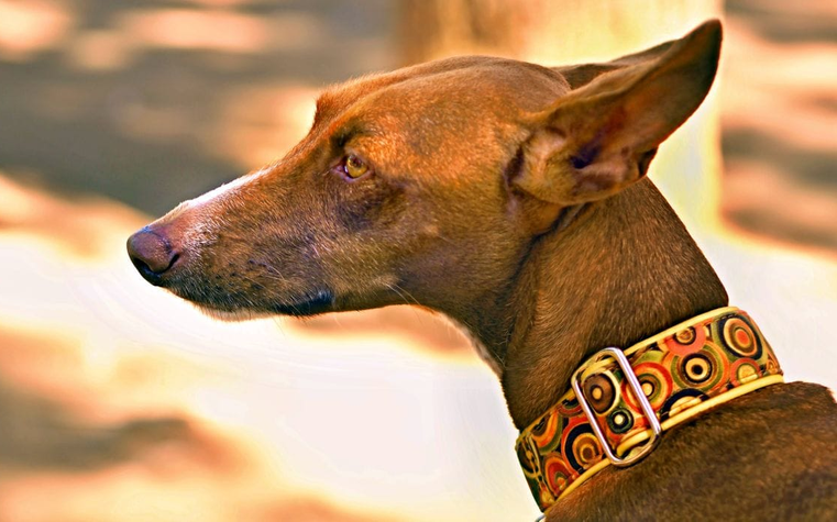 Know More About The Dog Collars Canada
