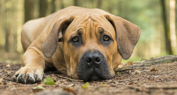 Check Out Boerboels for Sale: Things to Know About This Breed